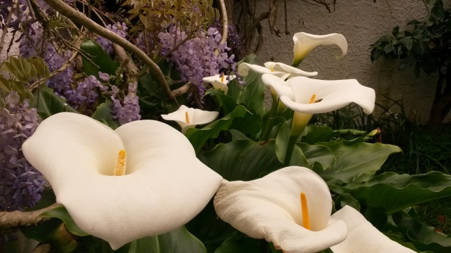 Giant calla lilies....that aren't really calla lilies.
